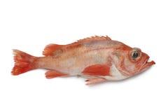 Single redfish stock photography
