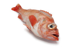 Single redfish Royalty Free Stock Photography