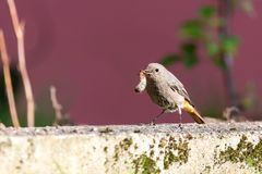 Single redstart small bird stands in the garden with big worm in beak Royalty Free Stock Image
