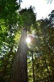 Single Redwood with sun peaking through. Stock Photos