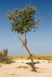 Single ree steppe. Summer steppe landscape with a single tree, dry grass, blue sky and the horizon line Stock Image