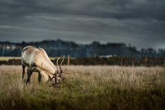 A single Reindeer in a field eating on some grass stock images