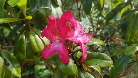 Single Rhododendron Stock Photo