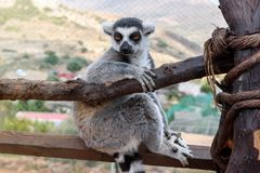 Single Ring-tailed lemur, Lemur catta, sits on a branch stock image