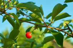 Single ripe cherry fruit hanging on branch. royalty free stock photos