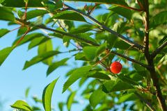 Single ripe cherry fruit hanging on branch. stock images