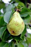 A single ripe pear Royalty Free Stock Image