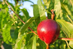 Single ripe red nectarine on the tree in an orchard on a sunny afternoon Royalty Free Stock Images