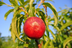 Single ripe red nectarine on the tree in an orchard on a sunny afternoon Stock Image