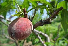 Single ripe red peach on the tree in an orchard on a sunny day Royalty Free Stock Images