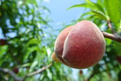 Single ripe red peach on the tree in an orchard on a sunny day Stock Images