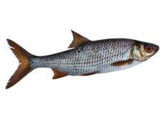 Single roach fish Stock Image