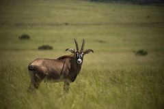 Single Roan antelope Africa in the grasslands royalty free stock images