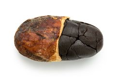 Single roasted half peeled cocoa bean  on white.  stock images