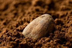 Single roasted unpeeled cocoa bean sitting in cocoa powder. Blurred background.  royalty free stock image