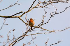 Single robin on bare branch stock image