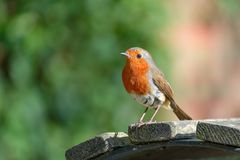 Single Robin on a park bench. Stock Image