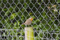 Single robin Royalty Free Stock Images