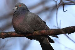 Single Rock Pigeon or Rock Dove bird on a tree branch in spring season Royalty Free Stock Photo