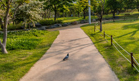 Single rock pigeon walking on sidewalk Royalty Free Stock Image