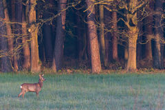 Single roebuck on meadow next to forest during hazy morning Royalty Free Stock Photography