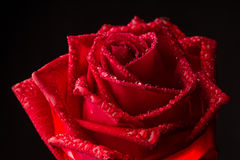 Single romantic red rose black background Royalty Free Stock Image
