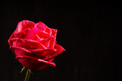 Single romantic red rose black background Royalty Free Stock Photos