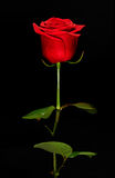 Single romantic red rose Stock Images