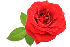 Single rose. Red rose over white background - top view stock photography