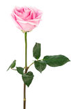 Single rose Royalty Free Stock Photo