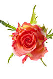 Single rose Stock Image