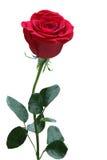 Single Rose Stock Photography