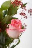 Single rose Royaltyfri Foto