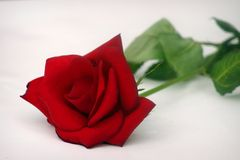 Single Rose. With blurred greenery royalty free stock photos
