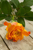 Single rose... Royalty Free Stock Photos