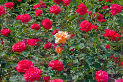 Single rose Royalty Free Stock Image