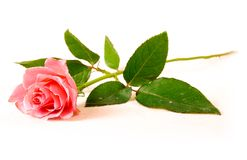 A single rose royalty free stock photos