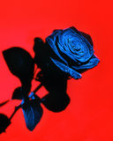 A Single Rose. A single dark rose on a bright red background Royalty Free Stock Image