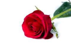 Single rose Stock Photo