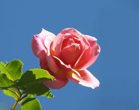 Single rose. Single budding pink rose on blue sky background with copyspace royalty free stock photography