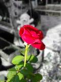 Single rose Stock Image
