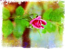 Single rose in bloom on grunge background Royalty Free Stock Photography