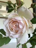 Mirrored rose drenched in dew stock images