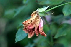 Single rose with almost completely dried shrunken and brittle petals on dark green leaves background. Single rose with almost completely dried shrunken and stock photography