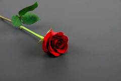 Single rose on dark background. Single rose laying on dark background Royalty Free Stock Images