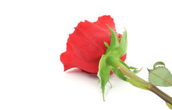 Single rose from a different angle #2 Royalty Free Stock Photos