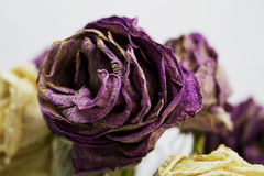 Single Rose Royalty Free Stock Photography