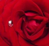 Single rose flower Royalty Free Stock Photos