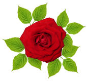 Single rose flower Stock Images