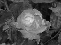 Single rose flower with water droplets in spring . Black and white photo Royalty Free Stock Images